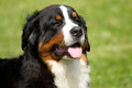 Berner sennenhund dog bernese mountain Royalty Free Stock Photo