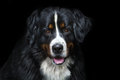 Bernese dog portrait Royalty Free Stock Photo