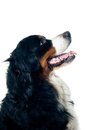 Bernese mountain dog Stock Image