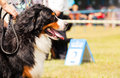 Bernese mountain dog berner sennenhund during exhibition Stock Photos