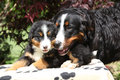 Bernese mountain dog bitch checking out its puppy in front of dark red leaves Stock Photos