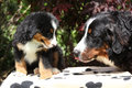 Bernese mountain dog bitch checking out its puppy in front of dark red leaves Royalty Free Stock Photos