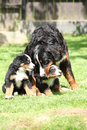 Bernese mountain dog bitch playing with puppies in the garden Royalty Free Stock Photos