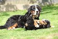 Bernese mountain dog bitch playing with puppy in the garden Stock Photos