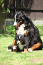 Bernese mountain dog bitch playing with puppy in the garden Royalty Free Stock Photos
