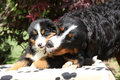 Bernese mountain dog bitch with puppy on blanket in front of dark red leaves Royalty Free Stock Photography