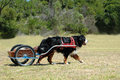 Bernese Mountain dog carting Stock Photo