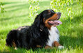 Bernese mountain dog lying on green grass on town park Stock Image