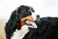 Bernese mountain dog portrait adult purebred half body head Stock Photos