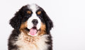 Bernese mountain dog puppy close up portrait of a Stock Images