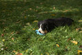 Bernese Mountain Dog Puppy in the grass chewing on a ball