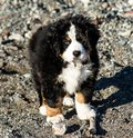 Bernese mountain dog puppy looking into the sunset on a pacific northwest beach Royalty Free Stock Photo
