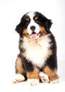 Bernese mountain dog puppy sitting in front of white background Royalty Free Stock Photography