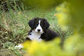 Bernese Mountain Dog puppy sitting in the grass with defocused foreground