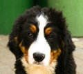 Bernese mountain dog puppy week old Stock Images