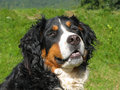 Bernese mountain dog's muzzle Stock Photo