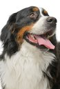 Bernese mountain dog on a white background Stock Photography