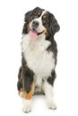 Bernese mountain dog on a white background Stock Photos