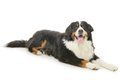Bernese mountain dog on a white background Royalty Free Stock Images
