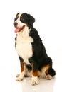 Bernese mountain dog on white berner sennenhund background Royalty Free Stock Photo