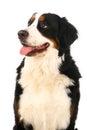 Bernese mountain dog on white berner sennenhund background Stock Photo