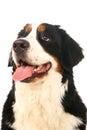Bernese mountain dog on white berner sennenhund background Stock Photos