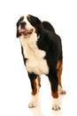 Bernese mountain dog on white berner sennenhund background Royalty Free Stock Photos