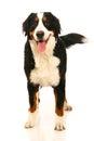Bernese mountain dog on white berner sennenhund background Stock Images