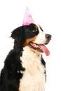 Bernese mountain dog on white berner sennenhund background Royalty Free Stock Image