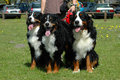 Bernese Mountain Dogs Royalty Free Stock Photo