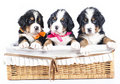 Bernese sennenhund puppies Stock Photos