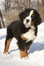 Bernese sennenhund puppy Royalty Free Stock Image