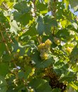 Bernkastel grape vines growing in town Royalty Free Stock Photo