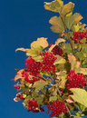 Berries and blue sky Royalty Free Stock Photography
