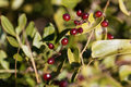 Berries of the Common smilax Royalty Free Stock Photo