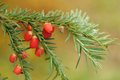 Berries of the european yew taxus baccata branch tree with Royalty Free Stock Photos