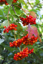 Berries of guelder-rose red Stock Photography