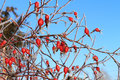 Berries in hoarfrost red against the blue sky Royalty Free Stock Photo