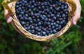 Berries of mature juicy bilberry in a basket in the child's hands Royalty Free Stock Photo
