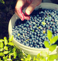 Berries of mature juicy bilberry in a bucket and in the woman s hands summer wood close up Royalty Free Stock Photography