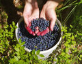 Berries of mature juicy bilberry in a bucket and in the woman s hands summer wood close up Royalty Free Stock Images