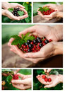 Berries picking Royalty Free Stock Photo