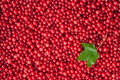 Berries of a red currant Royalty Free Stock Images