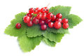 Berries of a red currant with leaves Royalty Free Stock Image