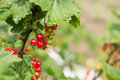 Berries of red currant after a rain on bush Stock Image