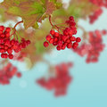 Berries of red viburnum autumn background with leaves Royalty Free Stock Photos