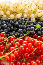 Berries ripe blueberries red and white currants closeup Royalty Free Stock Photo