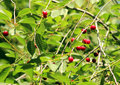Berries of ripe cherries on branches Royalty Free Stock Photo