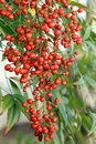 Berries of Sacred bamboo Royalty Free Stock Photo