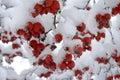 Bobule sneh